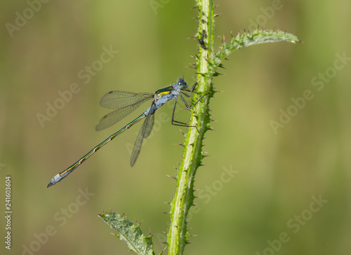Pygmy damselfly (Nehalennia speciosa) dragonfly on the plant