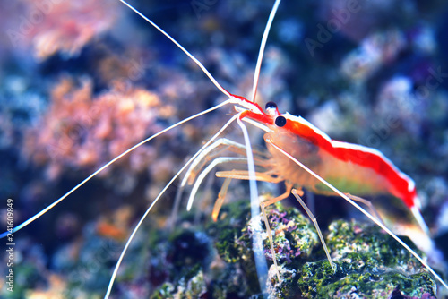 Lysmata amboinensis cleaner shrimp in marine aquarium with anemons and corals
