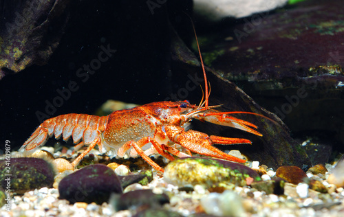 European Narrow-clawed crayfish Astacus leptodactylus in natural habitat