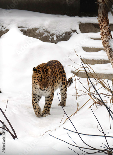 Leopard walks in the aviary of the Moscow Zoo.