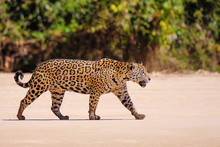 Jaguar Walking In Pantanal Matogrossense National Park