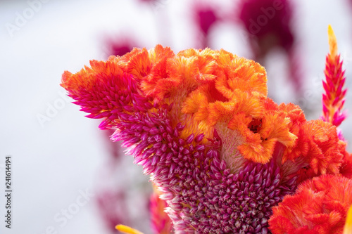 Obraz na plátně  Cockscomb flower, Celosia argentea Purple and white, Beautiful pink celosia flamingo feather flowers, for Background or Wallpaper