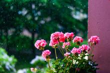 Vibrant Red Pink Buds Of Flowering Blooming Pelargonium Geranium Flower Plant Outdoors In The Rain