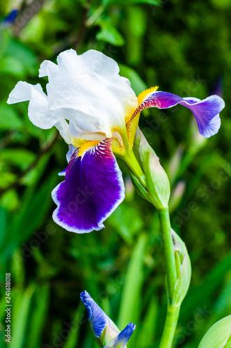 Spoed Foto op Canvas Iris Macro close-up of gorgeous Iris flower white purple violet blooming bud.