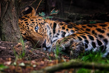 Panthera Pardus Orientali