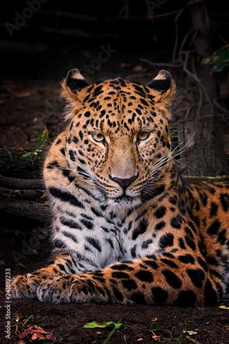 Panthera pardus orientali Canvas Print