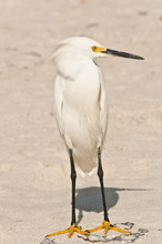Front View,close Distance Of An Adolescent Snowy Egret Standing On A Sandy Beach On The Gulf Of Mexico On A Sunny, Winter Day