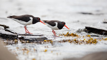 Two Oystercatchers