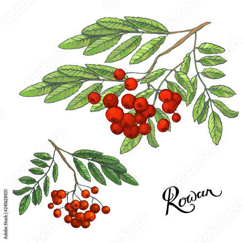 Fototapety, obrazy: Rowanberry branches with leaves and berries, hand drawn sketch, doodle color illustration