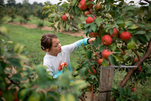 Girl Harvesting Apples On Farm