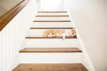 Dog Sleeping On Steps At Home