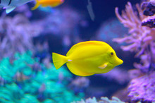 Yellow Tang Tropical Fish (Zeb...