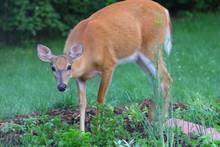Suburban Deer Eating Up A Garden