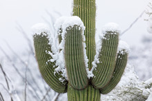 Saguaro Cactus Covered In Snow