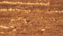Israeli Mountain Gazelle Fighting Beautiful Long Shot Of Israeli Mountain Gazelle Horn Fighting
