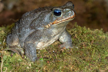 Giant Neotropical Cane Toad (R...