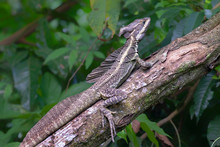 Basilisk (Basiliscus Basiliscus) Warming Under Sun On A Tree Branch, Puntarenas, Costa Rica.