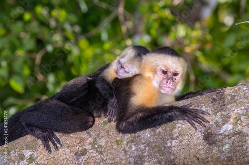 Fotografija  White-headed capuchin (Cebus imitator), female with baby on the back, resting on
