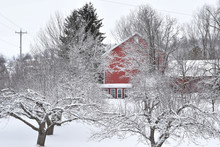 Snow Covered Apple Orchard In ...