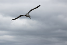 Seagull Flying Against Stormy ...