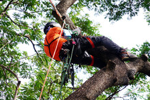 Arborist Or Tree Surgeon Profe...