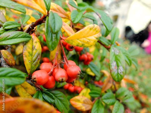 Fotografie, Obraz  かわいい赤い実