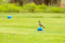 A Say's Phoebe Perches On A Blue Toy Ball On A Green Golf Course In Kanab, Utah