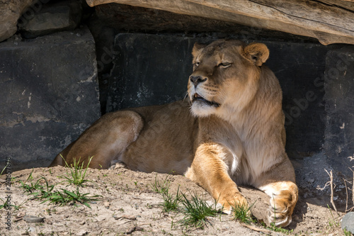 Cadres-photo bureau Puma Female Lion Found Some Shadow to Rest from the Summer Sun