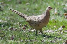 Female Ring-necked Pheasant