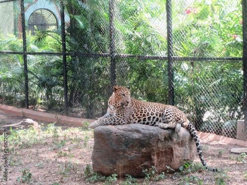 Fototapeta premium Lampart w zoo w Mysore / Południowe Indie