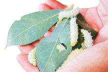 White Worm White Silkworms Are Eating Mulberry Leaves