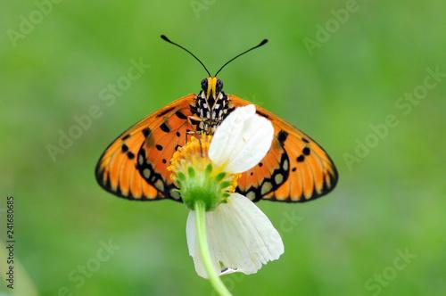 Fototapeta premium motyle okoń na kwiatach