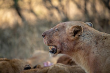 Lioness With Blood On Her Face Panting Hard