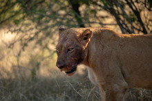 Female Lion With Her Face Covered In Blood