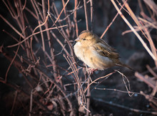 Female House Sparrow (Passer Domesticus) In A Bush Under The Yellow Winter Light