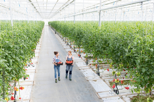Fototapety, obrazy: High angle view of coworkers carrying tomatoes in crate at greenhouse