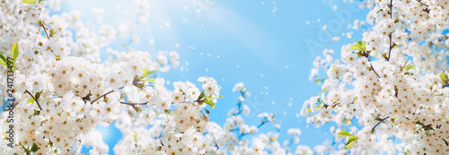 Leinwand Poster Branches of blossoming cherry macro with soft focus on gentle light blue sky background in sunlight with copy space
