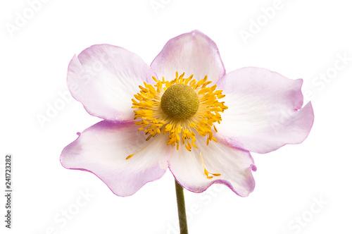 Photographie anemone hupehensis