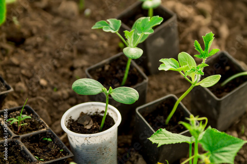 Watermelon Seedlings Images