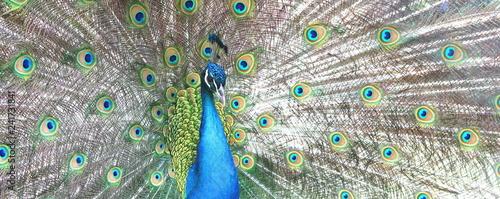 Fototapeta premium piękny paw indyjski z pawimi piórami w ogonie pawia
