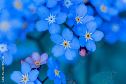 spring background forget-me-not flowers