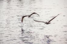Pelican Flying Overhead At Shem Creek In Mount Pleasant South Carolina