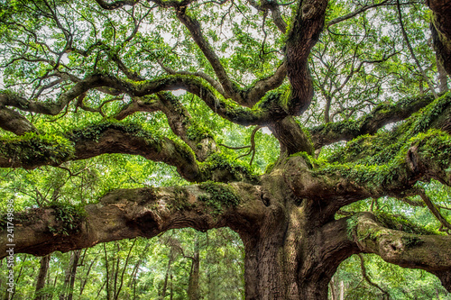 angel oak tree in John's Island South Carolina - Buy this
