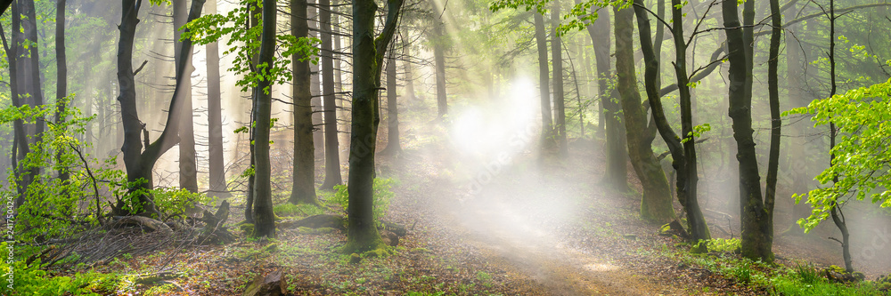 Fototapeta Panorama of a forest in morning mist
