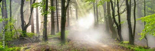 Fototapeta Panorama of a forest in morning mist obraz