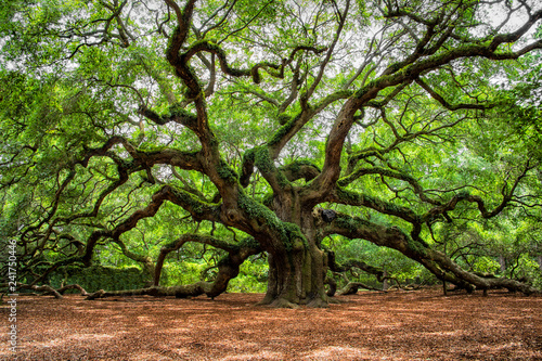 Fotografie, Tablou angel oak tree in John's Island South Carolina