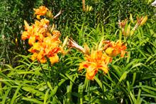 Hemerocallis Or Daylily Lilly ...
