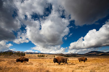 American Bison In Yellowstone ...