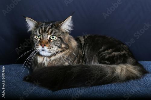 Fotografie, Obraz  chat, animal, felidae, animal de compagnie, chaton, joli, domestique, portrait,