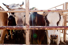 ARROYO GRANDE: A Heard Of Cattle Behind A Fence